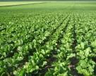 Дожди благоприятствуют урожаю сахарной свеклы и кукурузы