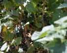 Новый урожай смородины уже на прилавках