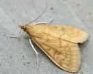 Кукурудза в Україні пошкоджується кукурудзяним метеликом