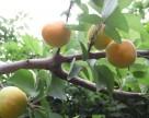 В Крыму недовольны сезоном реализации абрикоса