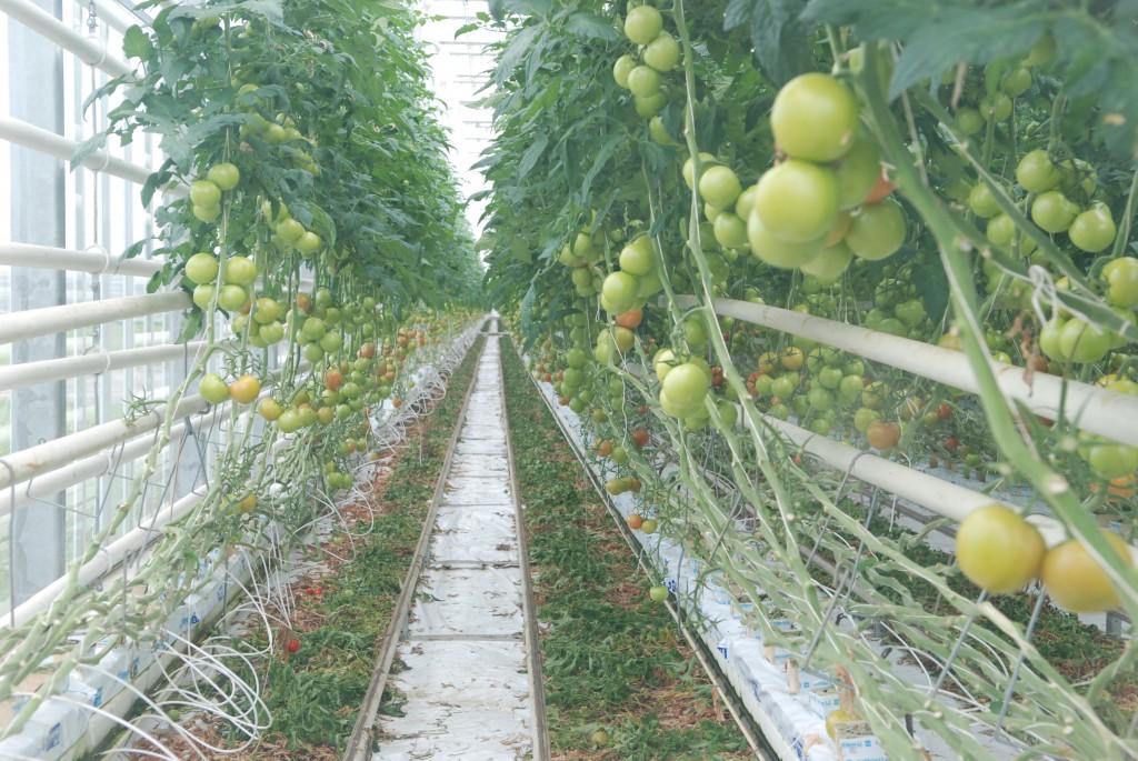 теплицы калиновка томаты