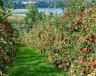 Во Франции ожидается снижение производства яблока
