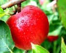 Рекордные объемы запасов яблока образовались в Польше