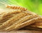 Госпродпотребслужбе поручили контролировать ГМО и качество зерна