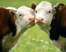 В Германии опасаются молока с глифосатом