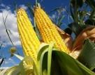 Кенийские депутаты призывают провести испытания ГМО кукурузы