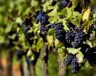 Биологическая защита винограда