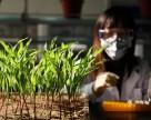 Китай намеревается стать мировым лидером по производству ГМО