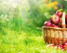 Устойчивые к парше яблоки вывели в Польше
