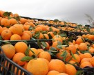 Дешевых апельсин из Египта в Украине не будет