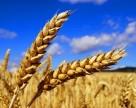 Египет объявил новый тендер на закупку мукомольной пшеницы