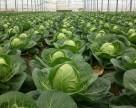 Выбор удобрений при выращивании капусты