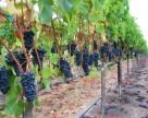 Украине необходимо садить 1,6 тыс. га винограда ежегодно