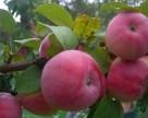 На Закарпатье вырастут немецкие яблони, устойчивые к парше