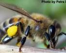 EFSA подтвердило негативное влияние клотианыдина и имидаклоприда на пчел