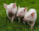 Африканская чума свиней уже на Николаевщине
