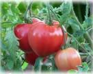 В РФ откажутся от турецких томатов еще на три года