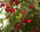 Мінагрополітики створило нову робочу групу з питань  садівництва. Чого чекати?