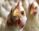 Беларусь запретила ввоз птицы из регионов Швейцарии, Румынии и Хорватии