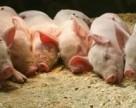 Украина вернула звание «нетто-экспортера» свинины