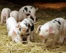 Чи компенсують свинарям кошти за племінний молодняк?