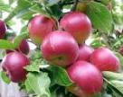 Полтавщина хоче розвивати садівництво