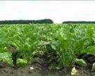 Українські аграрії вивчатимуть новітні технології вирощування цукрових буряків