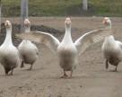 Беларусь ограничила ввоз птицы из отдельных регионов Украины, России, Дании и Франции