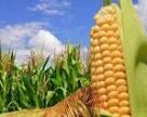 USDA в новом отчете снизил оценку урожая американской кукурузы