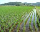 Разработан экспресс-метод определения бактериального ожога риса