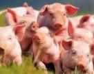 Українці з'їли більше свинини, ніж курятини