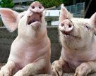 Білорусь вводить тимчасові обмеження на постачання свинини з Донецької області
