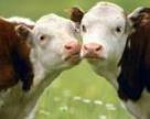 Зростає пропозиція на ринку молочної сировини