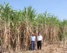 У Бразилії цукор виробляти вигідніше, ніж біоетанол