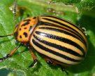 В России из-за морозов вымерли колорадские жуки