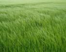 Во Франции ухудшается состояние посевов
