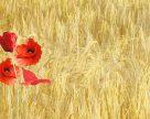 Україна посіла друге місце у світі за врожайністю пшениці