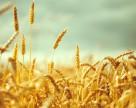 Запаси пшениці в Канаді виросли на 17%