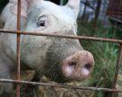 Беларусь ввела запрет на ввоз свинины из Херсонской области