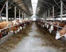 В Україні розпочинається програма підготовки національних виробників яловичини до відкриття ринку ЄС