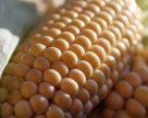 Кукуруза составляет половину украинского зернового экспорта