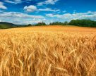 ФАО отмечает рекордный рост цен на зерновые