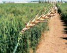 На Дні поля на Миколаївщині представили 169 нових сортів зернових