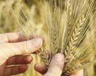 Питание зерновых вместе с «Валагро»