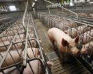 Топ-5 найпотужніших виробників свинини України