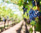 Виноградарство без агрохимикатов
