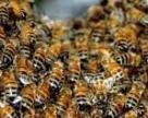 У квітні і травні в Україні від хімії загинуло понад 800 бджолосімей