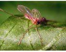 Хищные комарики встанут на защиту растений