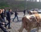 Власники корів обурені низькими цінами на молоко