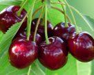 Як врятувати органічну черешню від вишневої мухи